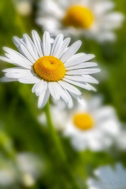Daisy Dreams - TL Wilson Photography