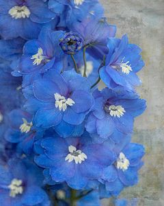 Delightful Delphiniums