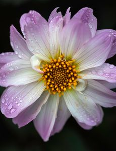 Dahlia With Raindrops