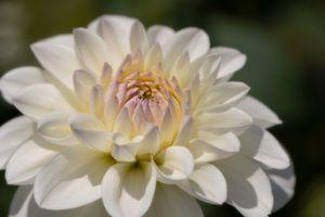 Marshmallow Dahlia