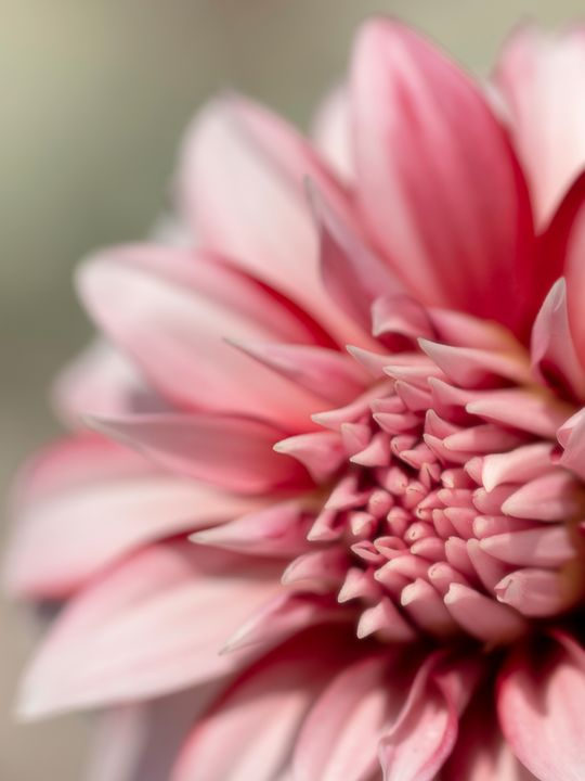Pink Dahlia Center Focus - TL Wilson Photography