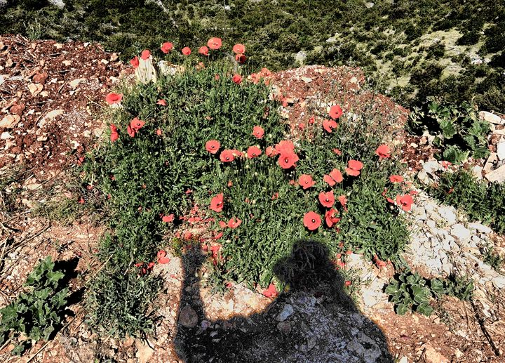 Shadow over the poppies - Adriatic picture factory