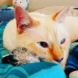 Koa the Cat