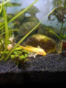 Lemon Bristlenose Plecostomus