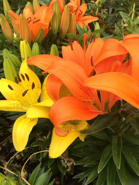 Lilies - Gallery I