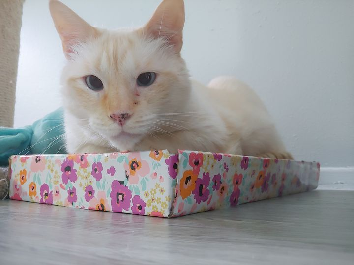 Flame Point Siamese - Gallery I