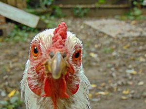 White Chicken Closeup