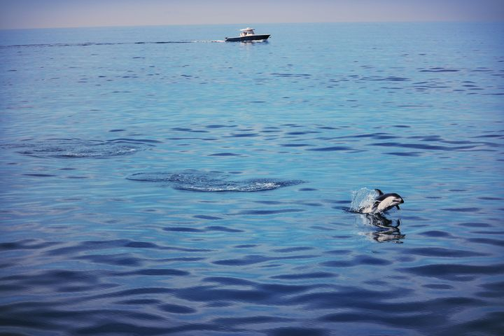 Pacific White-Sided Dolphin No.1 - Crystal Enciso Photography