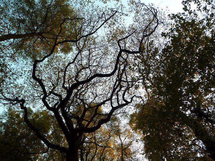 Autumn Canopy - Charlotte