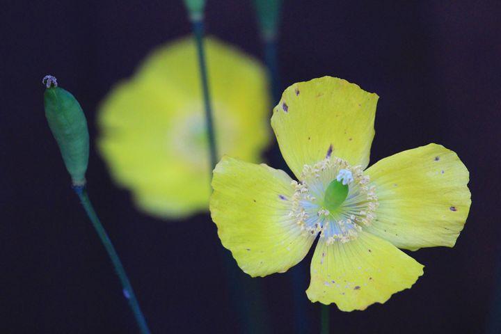 Yellow Poppy - Charlotte