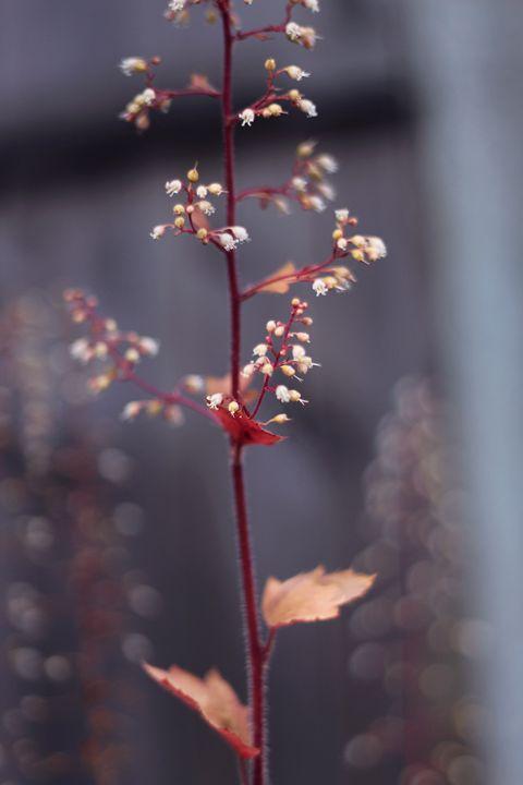 Delicate Flower - Charlotte