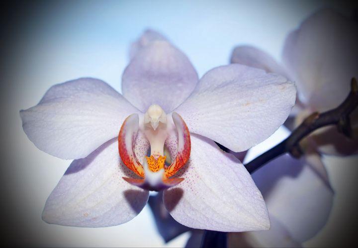 Orchid - vergul