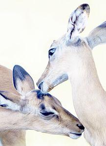 Antelope Kiss