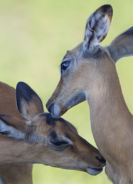 Antelope Kiss II - Daamonturne Project
