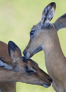 Antelope Kiss II