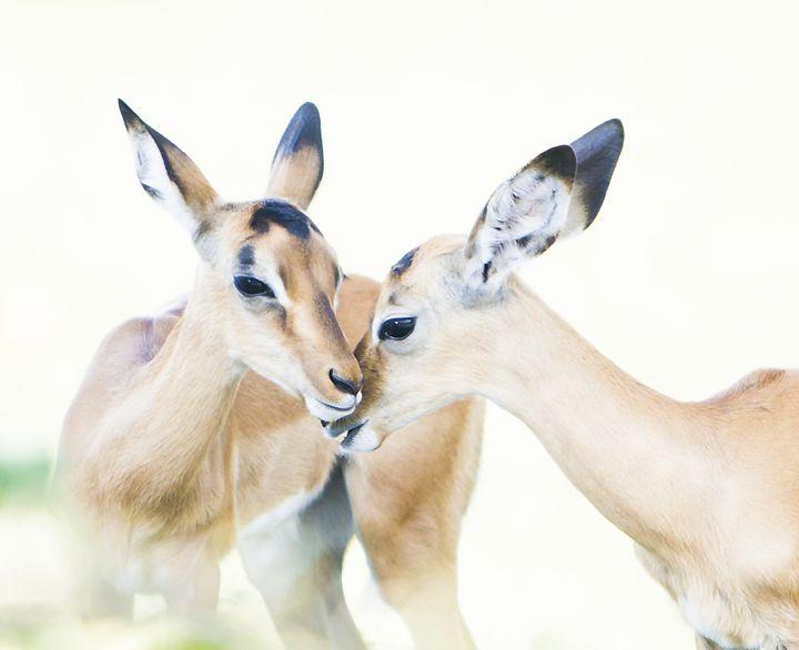 Antelope Greetings - Daamonturne Project