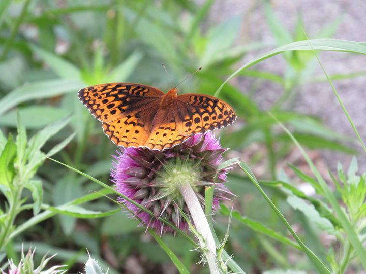 Orange Butterfly on Thistle - Alexies Nicals