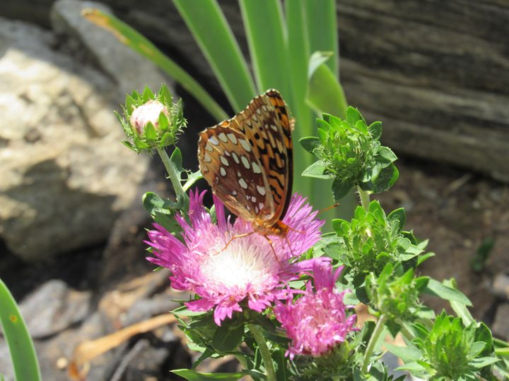 Butterfly on Purple Flower - Alexies Nicals