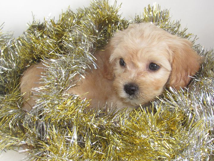 Puppy Laying in Tinsel - Alexies Nicals