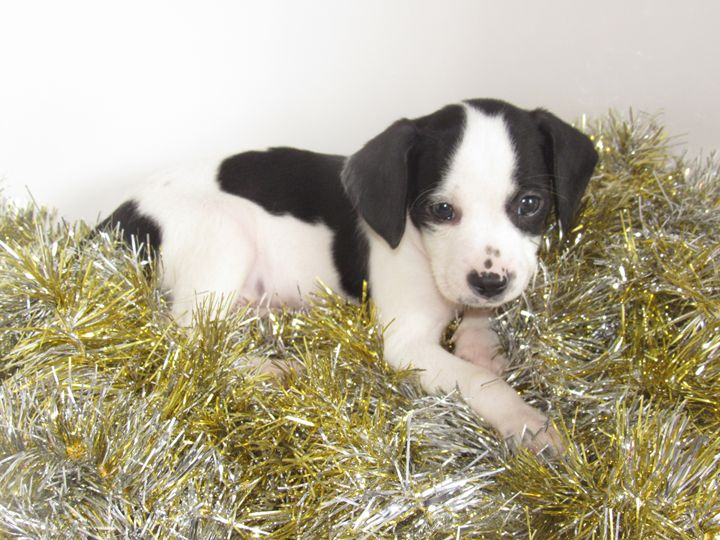 Black and White Puppy in Tinsel - Alexies Nicals