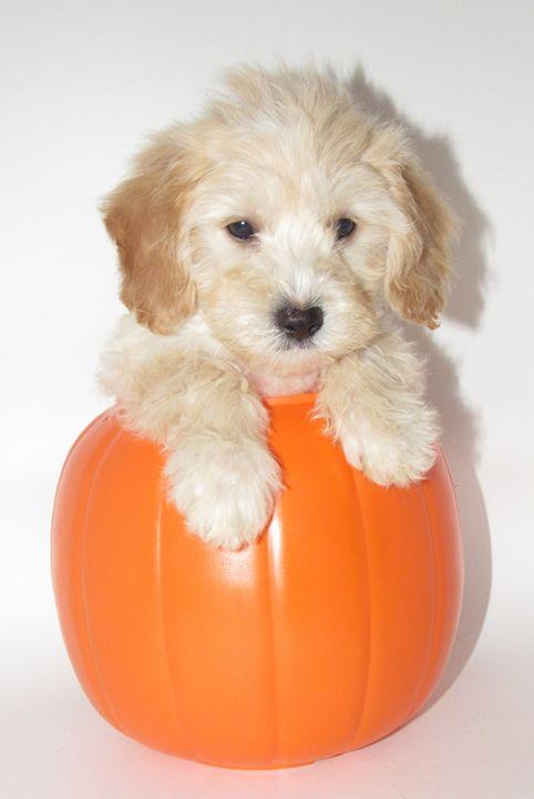 Puppy in Pumkine - Alexies Nicals