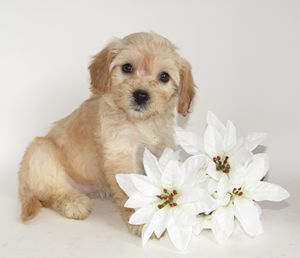 Puppy with White Poinsettias