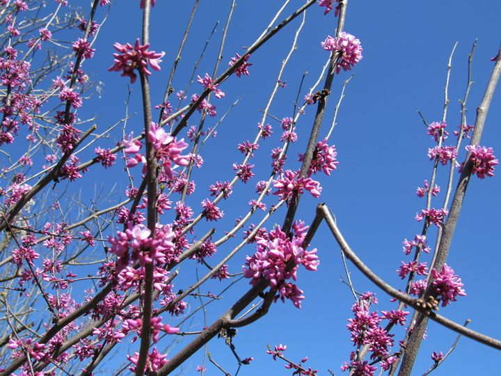 Redbud Blossoms - Alexies Nicals
