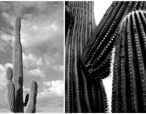 Saguaro Cactus Composite Photograph