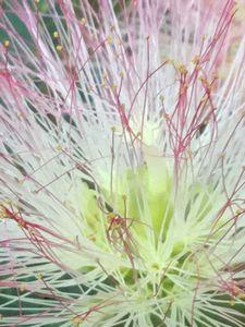 Mimosa Close Up