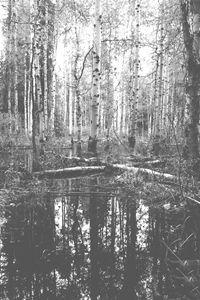 Aspen Trees of McCall