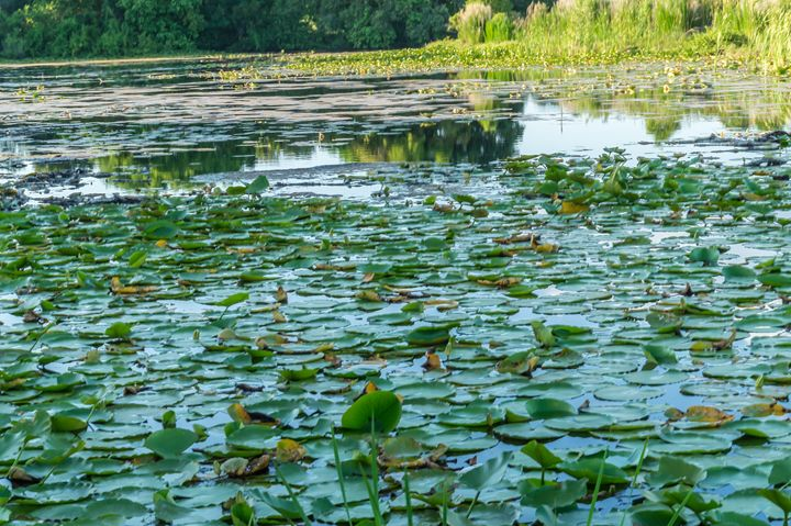 Quaker Lake Lily Pads - David J Riffey