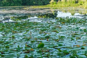 Quaker Lake Lily Pads