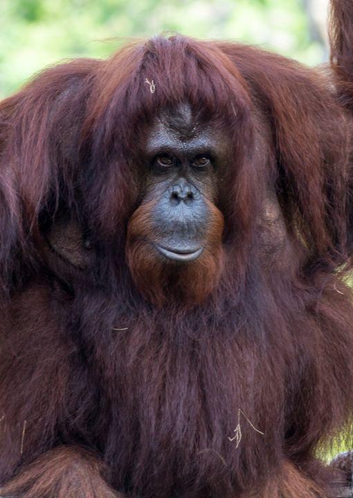 Orangutan is Watching... - David J Riffey