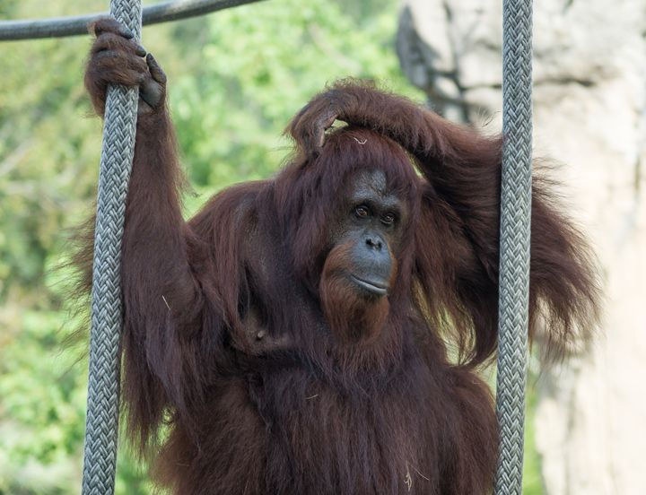 Orangutan watching and wondering - David J Riffey