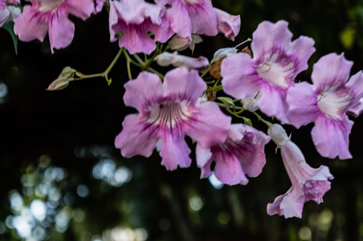 Pink Flowers - David J Riffey