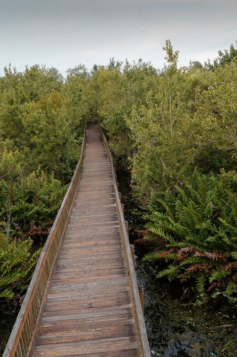 Wooden Boardwalk Vanishes into Woods - David J Riffey