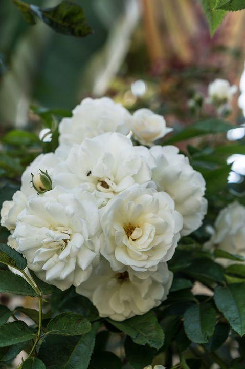 White Roses - David J Riffey