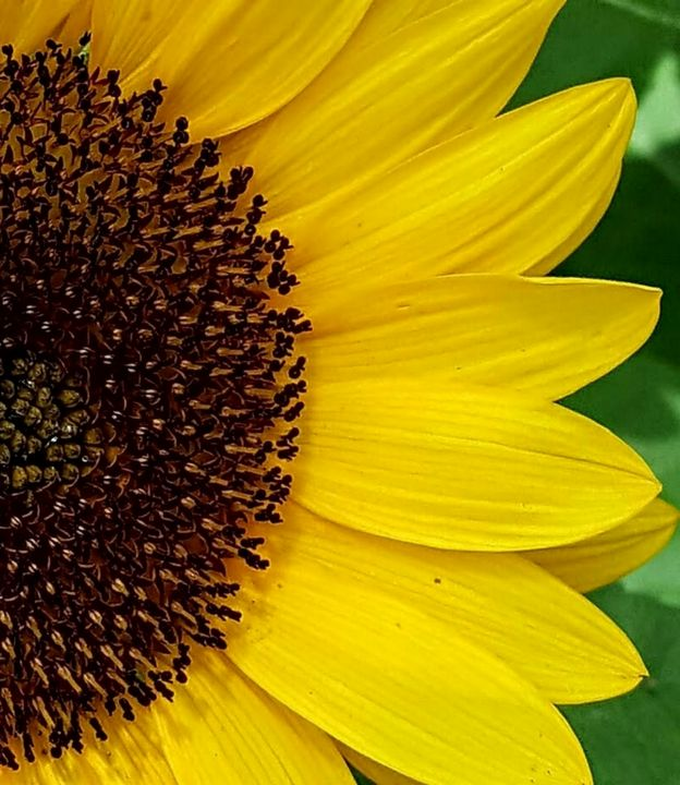 Sunflower - Pouring My Heart Out