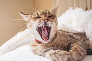 Brown Tabby Cat Yawning While Lying