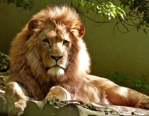King of the lion jungle