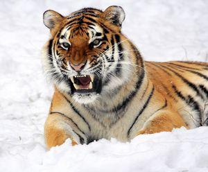 African Tiger Lion