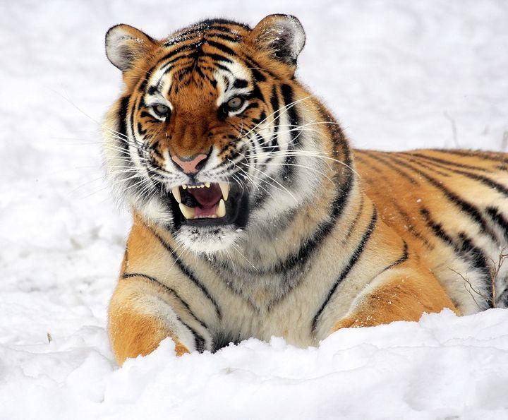 African Tiger Lion - Faiq Designer