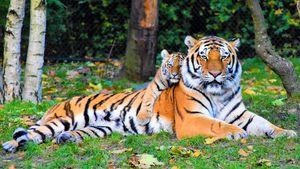 Beautiful Tigers