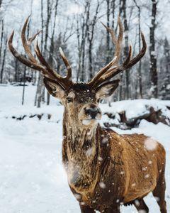 Beautiful Brown Deer On Snow