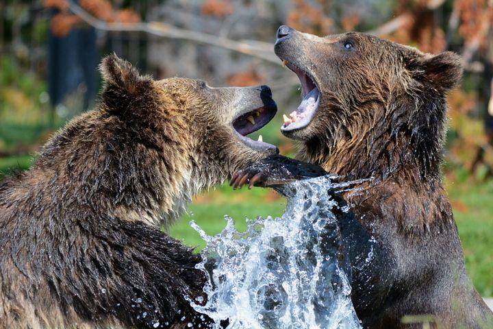 Black Brown Bears - Faiq Designer