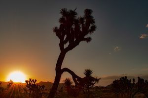 Joshua Tree @ Sunset