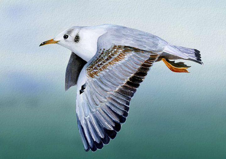 Black Headed Seagull Seabird Artwork - Alison Langridge
