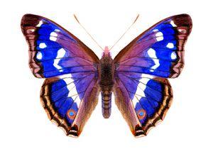 Purple Emperor Butterfly Watercolour