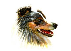 Sheltie Dog Pet Portrait Acrylics