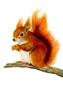 Red Squirrel Watercolour Painting
